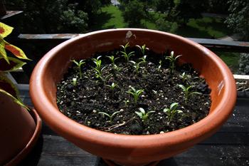 Cilantro growing